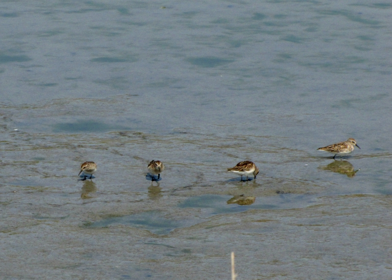 teeny shorebirds
