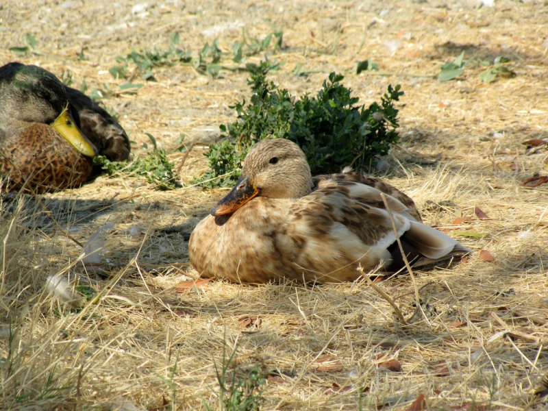 napping ducks