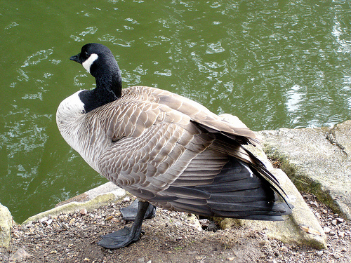 Goose at the park