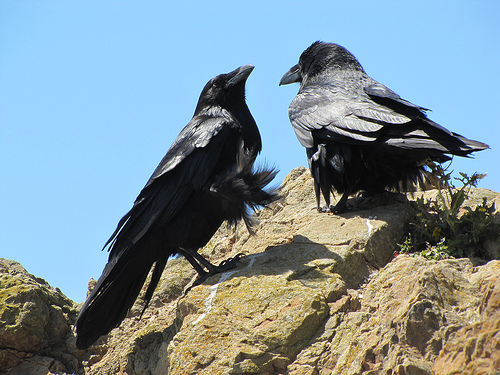 These two ravens were huddled against the wind