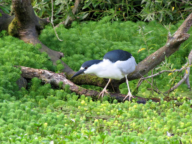 An adult Black Crowned Night Heron hunting for food in the pond