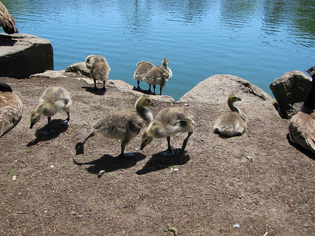 Canadian Geese and goslings.  Group 1