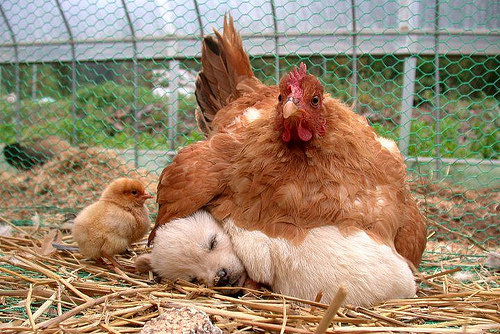Hen and puppy