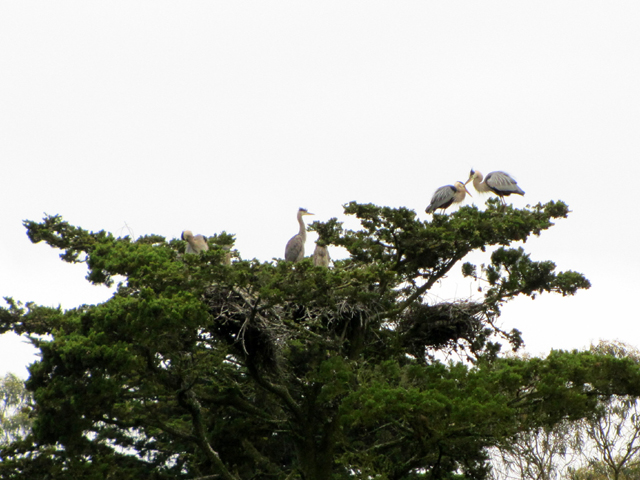 The nest is the clump of sticks under the heron chicks in the center