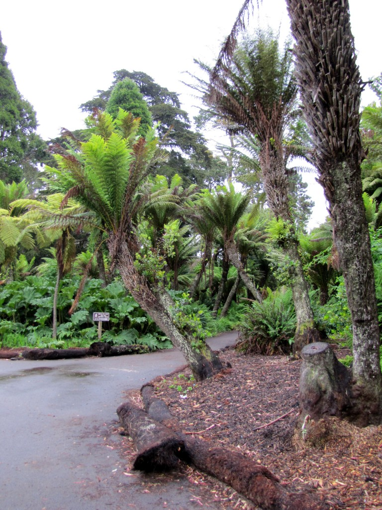 Trail through the tree ferns