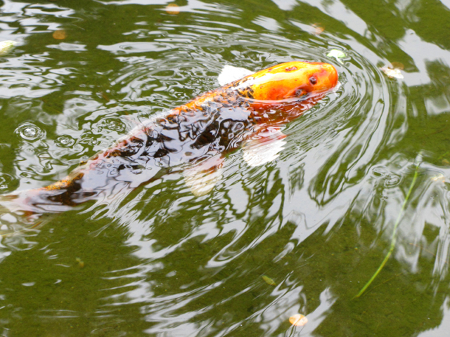Japanese Tea Garden Koi