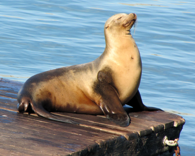 California Sea Lion - female