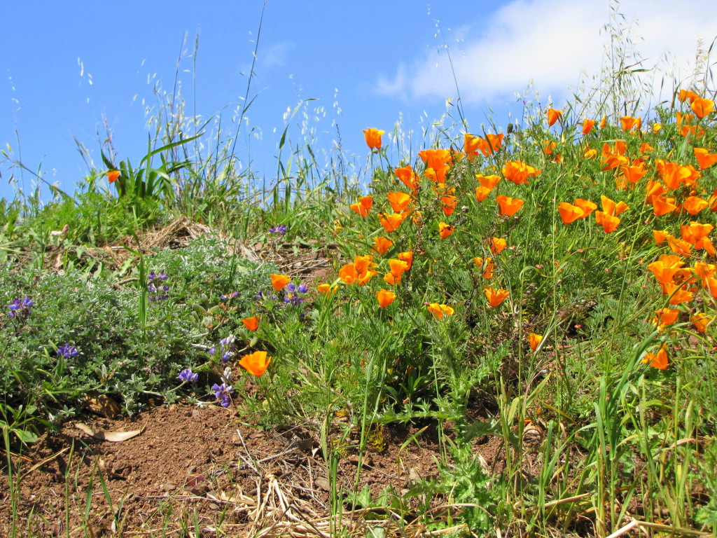 California poppies on Bernal Hill