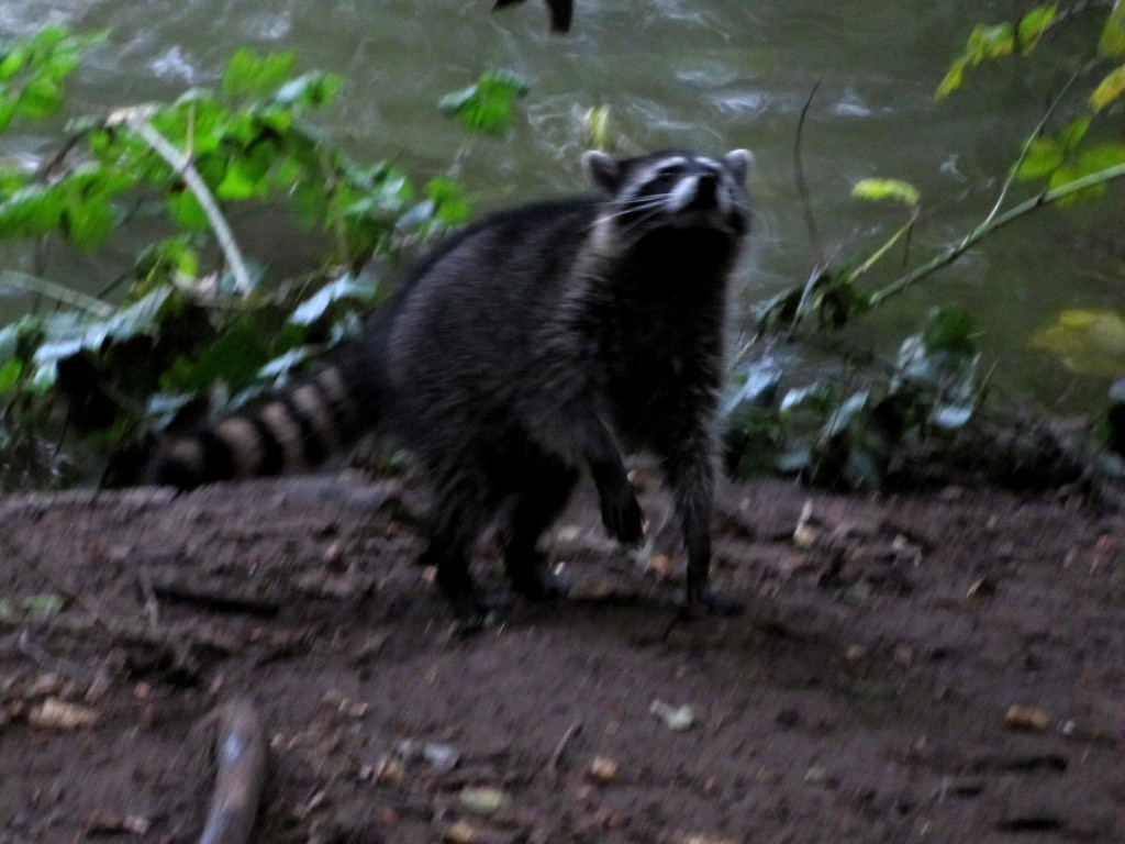 raccoon smells humansYeah, bring your camera too, 'cuz we're gonna eat all of that
