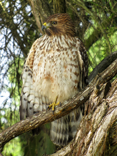 The hawk was sitting in the tree just above eye level and only ten feet from the path.