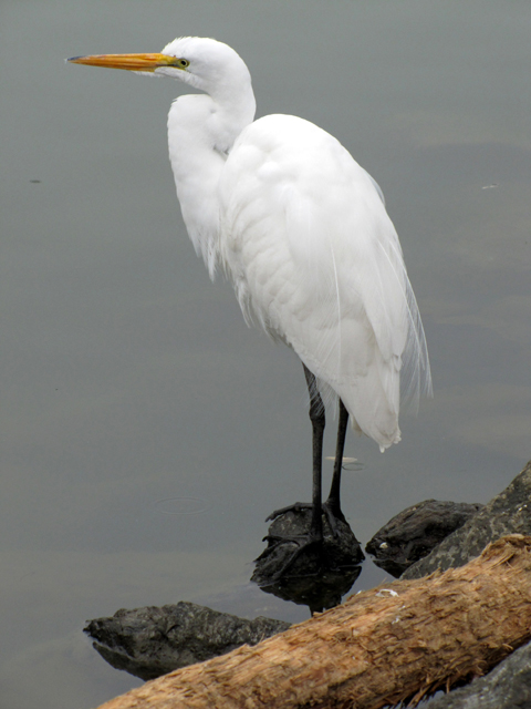 I found this Great Egret at the reservoir in McLaren Park