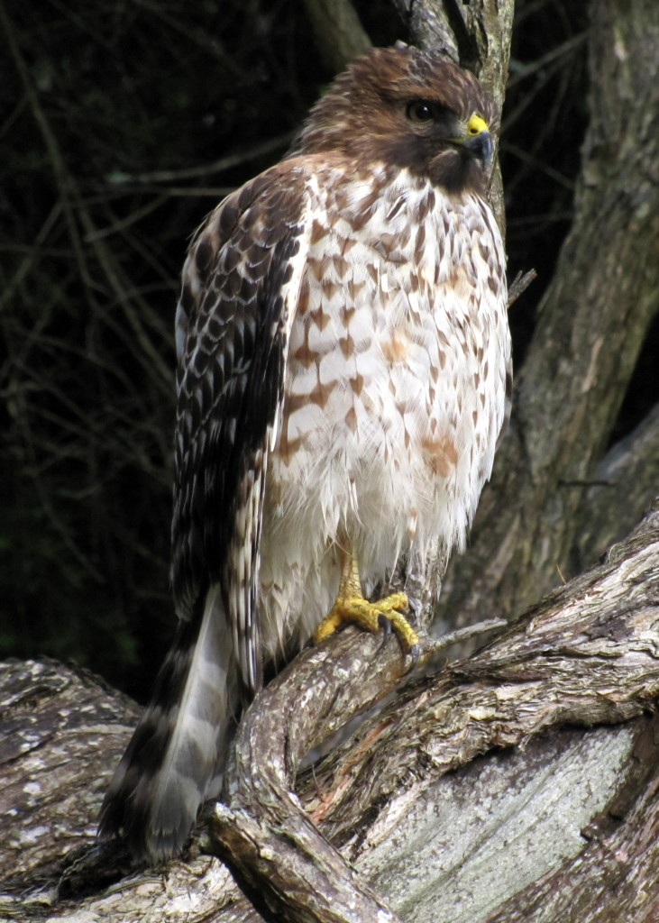 This beautiful hawk was sitting about ten feet from the trail and at eye level in Golden Gate Park