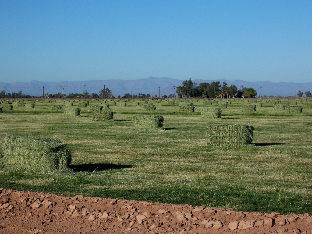 Freshly baled hay with the Laguna Mountains in the background