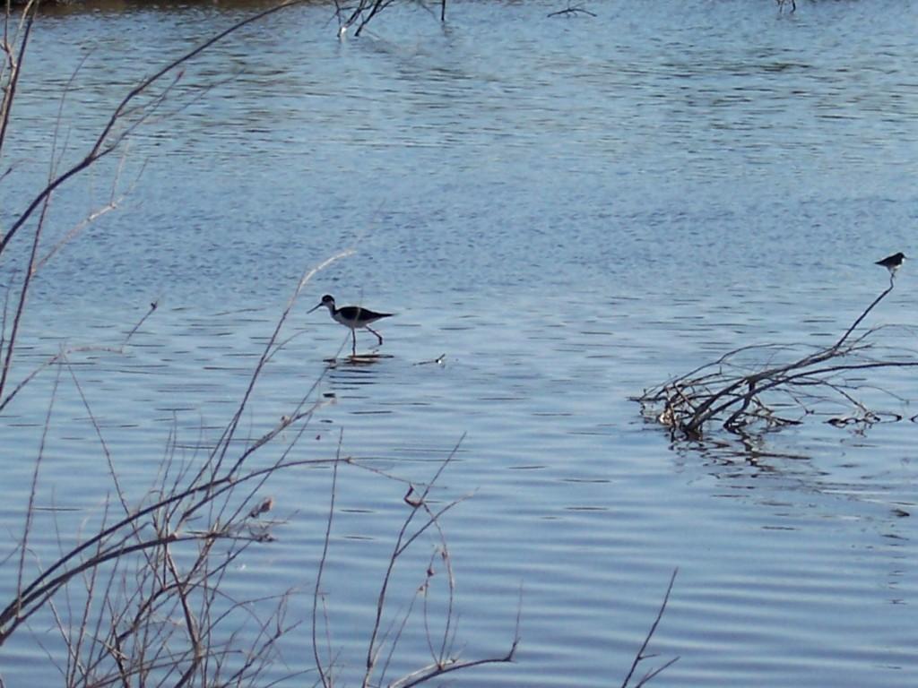 Migrating shorebirds were feeding