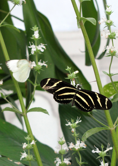 Cabbage White and Zebra Longwing