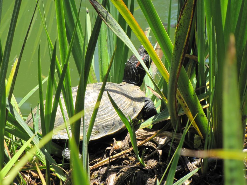 turtle b