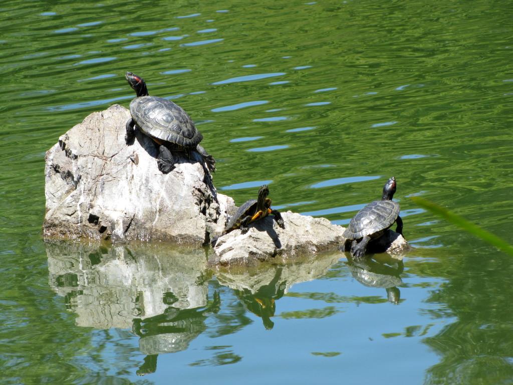 turtle c