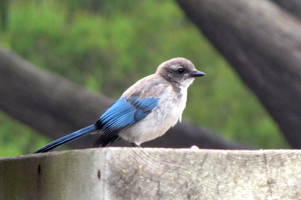 The juvenile Calif. blue jay has a grey head. It's blue on the adults. Don't let the cuteness fool you.