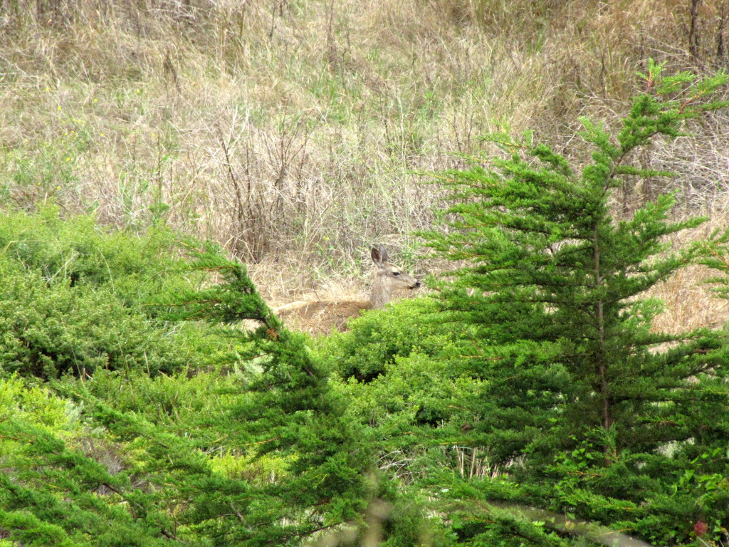 This black tailed deer watched us for a long time