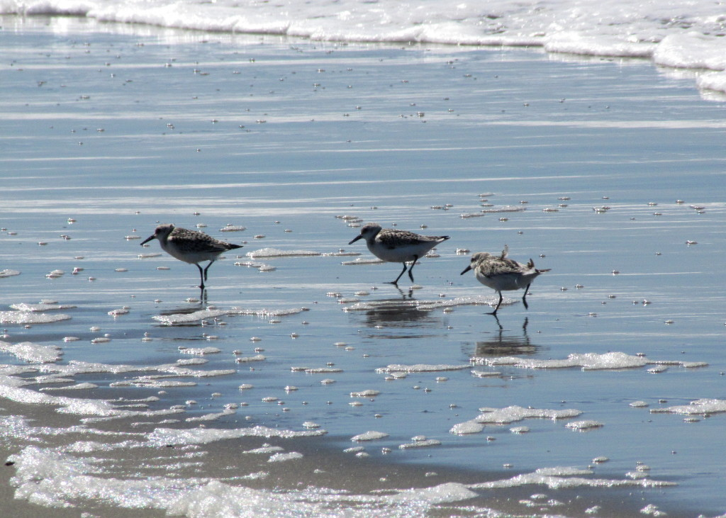 These teeny weeny birds were fun to watch. Sanderlings, I think.