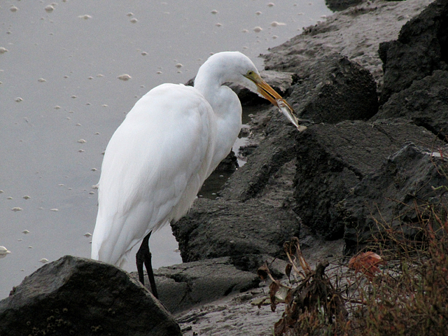 Egret has fishy noms
