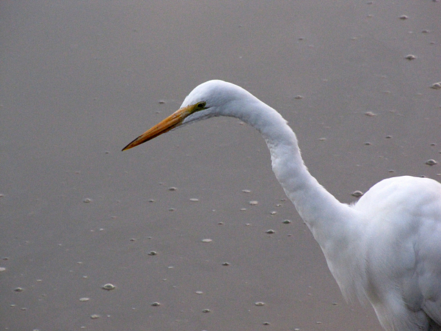 The Great Egret was still hungry