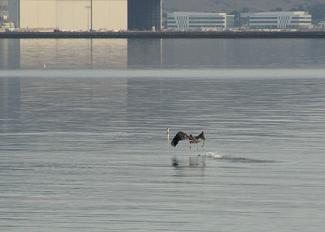 Pelican launching into flight with a grebe in the background