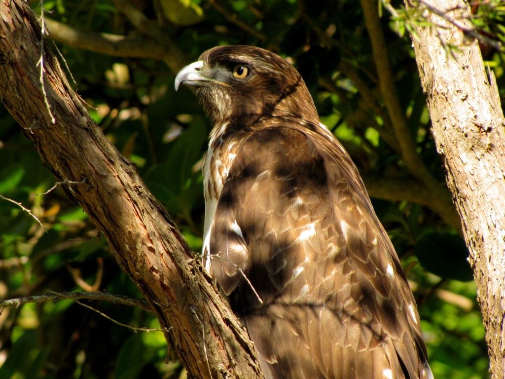 Closeup of the hawk