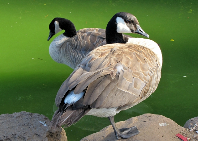 Adult Canada Geese