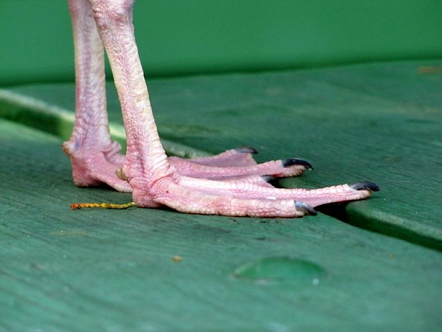 Seagull feets