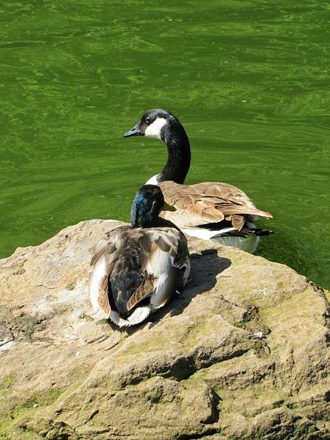 Juvenile Mallard and Canada Goose
