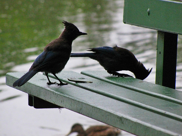 Steller's Jay and mate