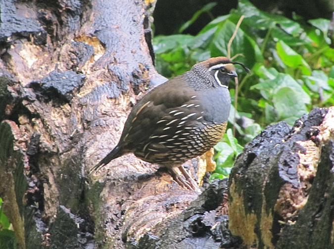 Such a fat little quail he is. I hope he has a girlfriend somewhere.