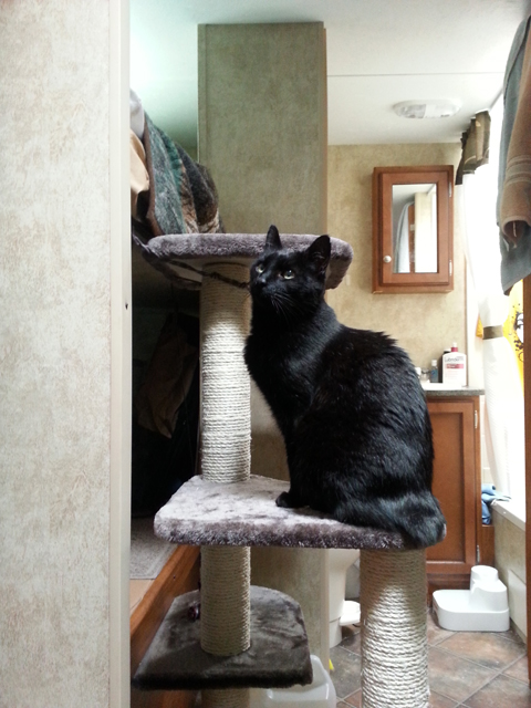 Titanescu checking out the new cat tower. Their lair has been moved to the top bunk.