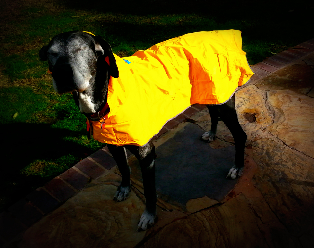 This is Zsu Zsu. She is modeling her new raincoat. She absolutely hates the rain. What a sweetie.