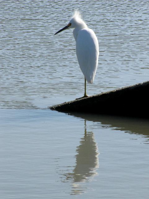 Tall Egret