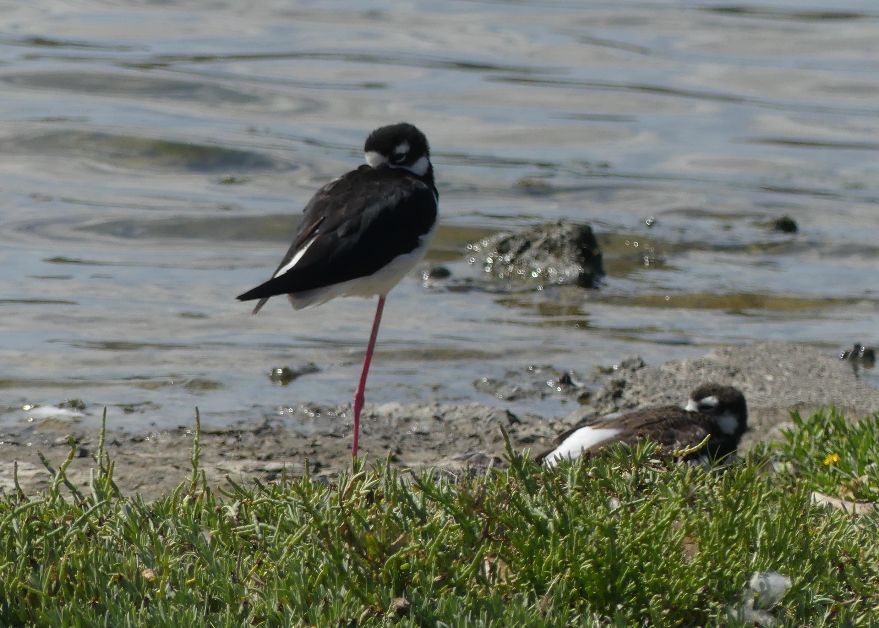 Napping Black-necked stilt