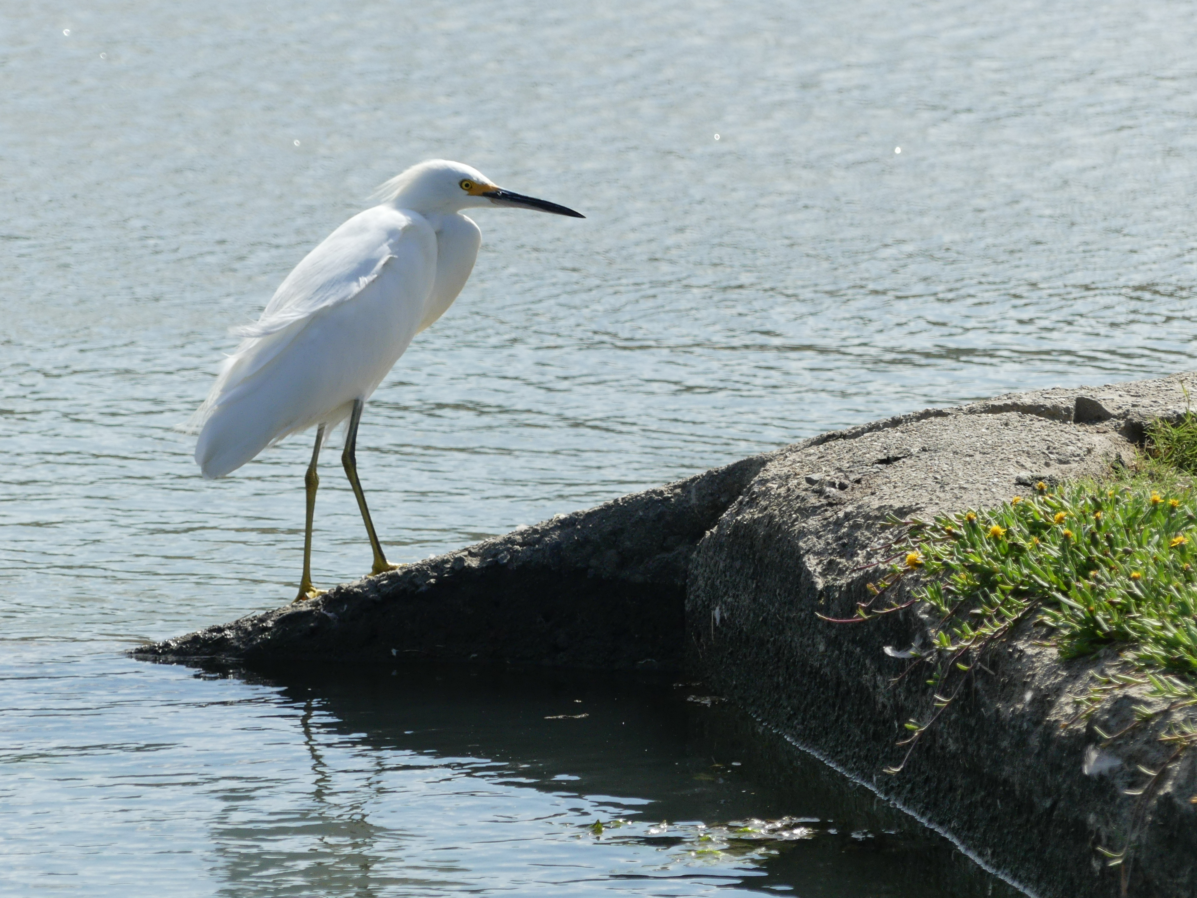 Snowy egret posing nicely