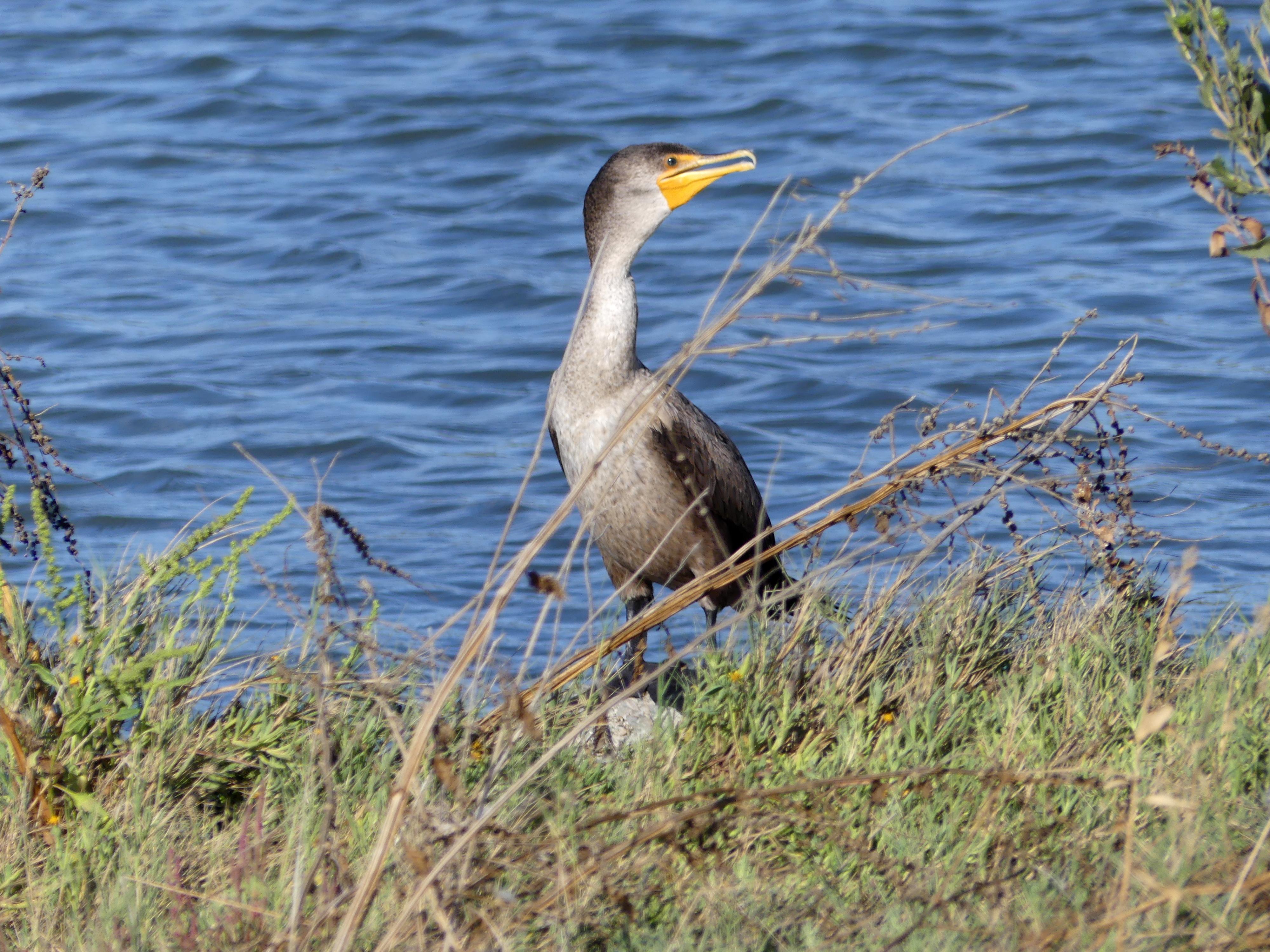 Juvenile cormorant
