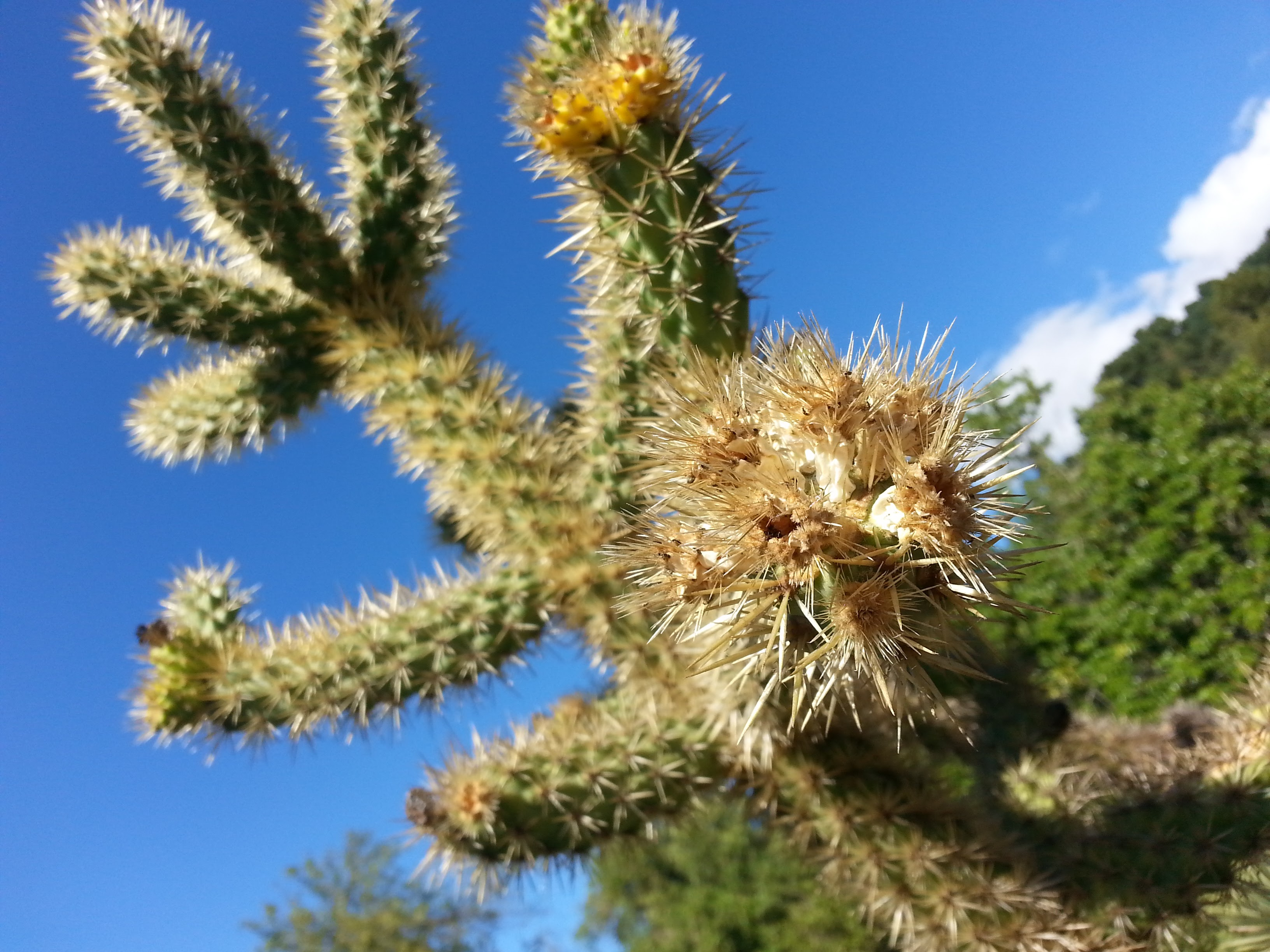 Cholla, photo by Lastech
